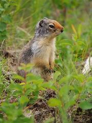 animal, prairie, squirrel, fox squirrel, rodent, prairie dog, fauna, marmot, wildlife,