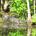Alligator Canal DSCN3443