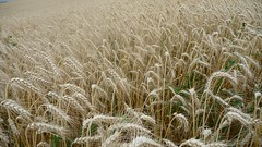 prairie, agriculture, triticale, rye, food grain, field, barley, wheat, plant, food, natural environment, crop, cereal,