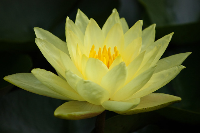 yellow water lily flower - photo #35