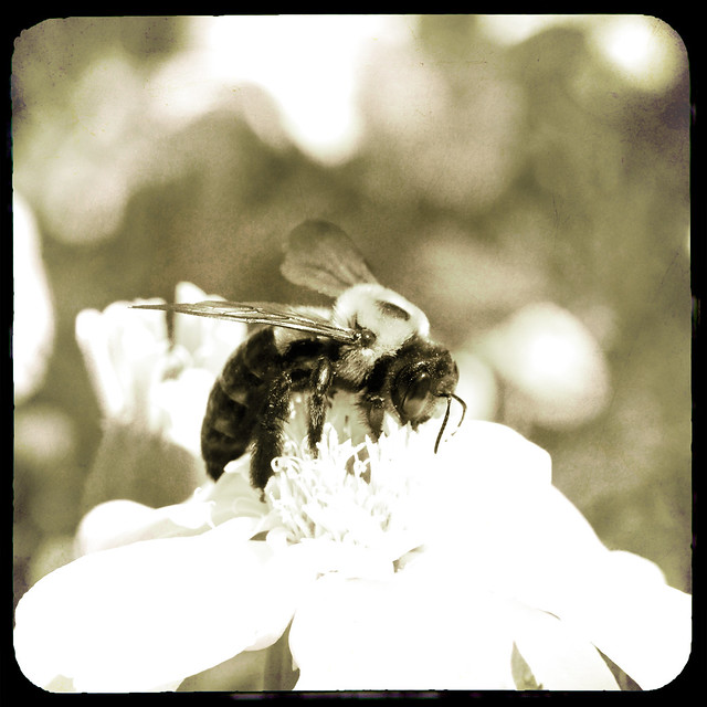 Black and white bumble bee