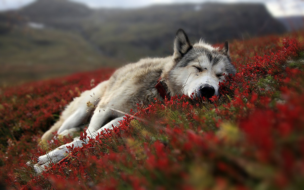 wolf_resting