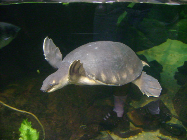 Pig-nosed Turtle Flickr - Photo Sharing!