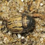 szőrös pajzsospoloska - Odontoscelis fuliginosa
