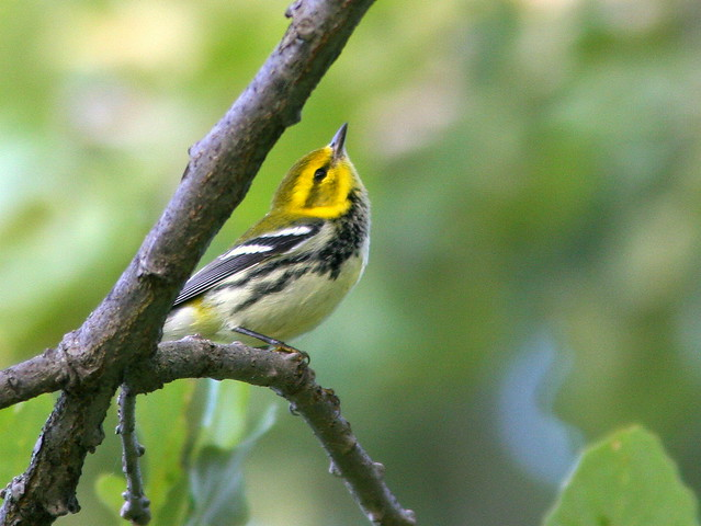 Black-throated Green Warbler 20100827
