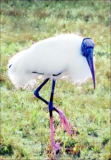 Wood Stork - bald and beautiful!
