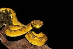 Malbar Pit Viper