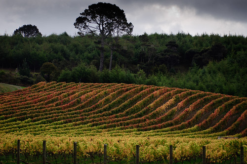 autumn newzealand fall vineyard auckland