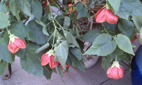Darker Petals on Flowering Maple
