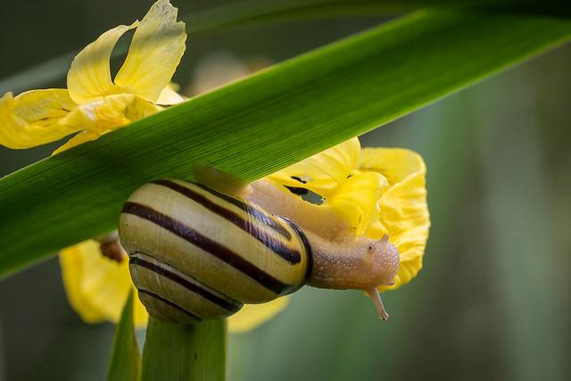 Grove Snail, Canon EOS 5D MARK III, Sigma 105mm f/2.8 EX DG OS HSM Macro