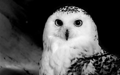 Snowy Owl Sitting at Dark