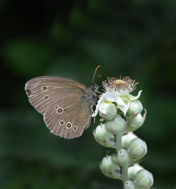 Ringlet Butterfly 185/365, Nikon D5200, Sigma 18-250mm F3.5-6.3 DC Macro OS HSM