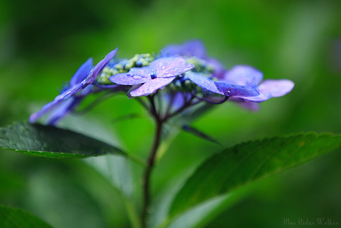 Raindrops on the hydrangea