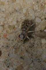 Ghost Tiger Beetle - Ellipsoptera lepida - Jackson County, Ohio, USA - June 25, 2010