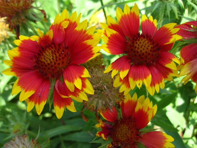 Lots of sun in Brooklyn encourages some bright summer blooms at BBG. Here Gaillardia aristata flowers in the Plant Family Collection near the Rock Garden. Photo by Rebecca Bullene.