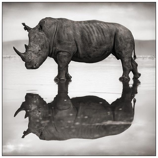 Rhino on Lake, Lake Nakuru, by Nick Brandt 2007