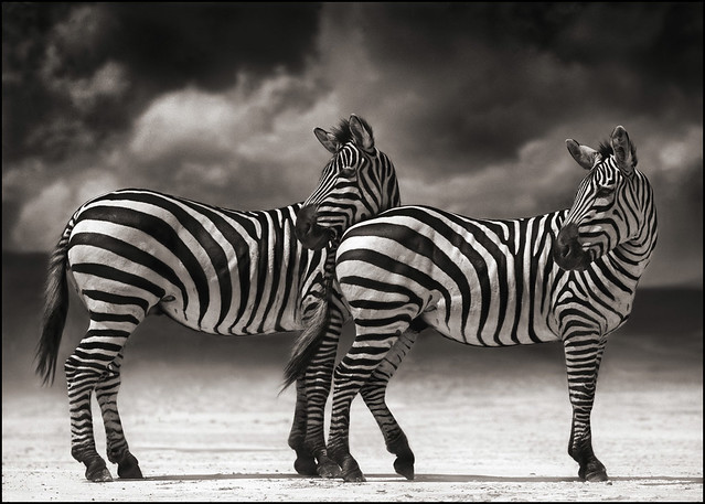 Portrait of Two Zebras Turning Heads, by Nick Brandt