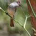 Ash-Throated Treat, Flycatcher