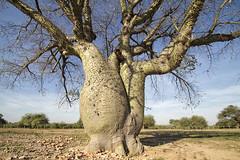 branch, tree, trunk, adansonia, rural area, savanna,