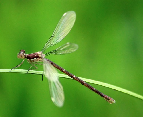 female spotted spreadwing