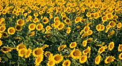 Mckee-Beshers Sunflowers 2010 -3