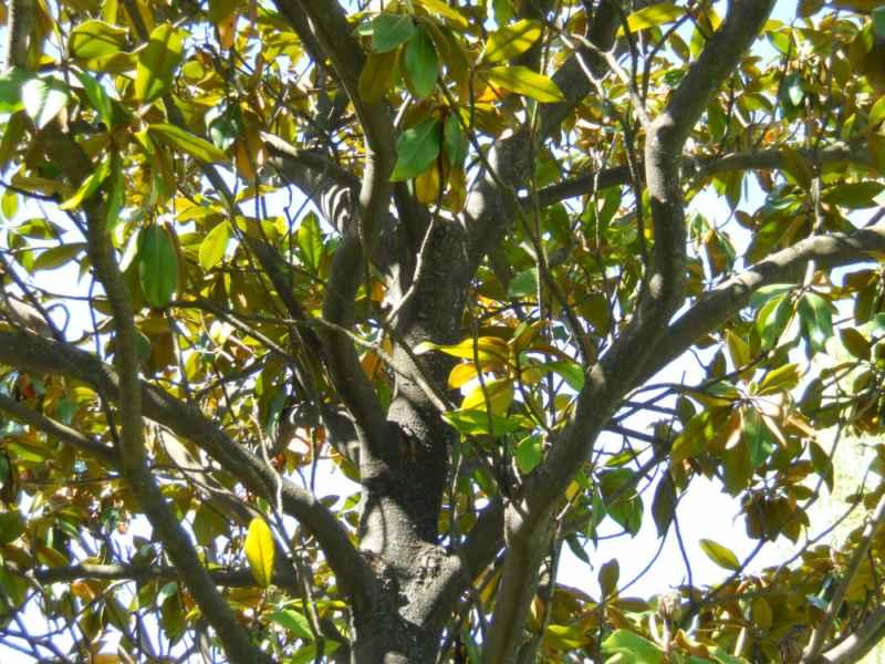 Magnolia grandiflora copa 3