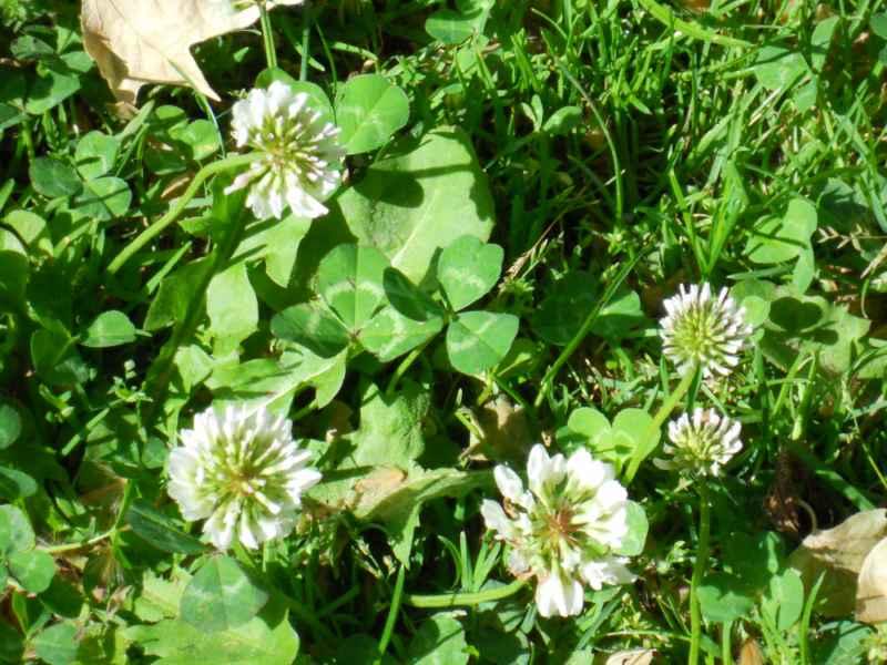 Trifolium repens con flor 1