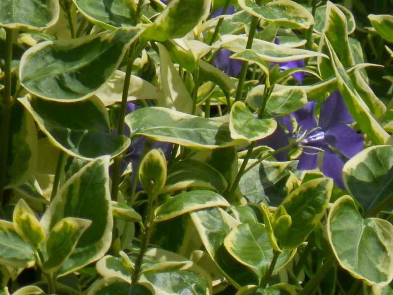 Vinca major 'Variegata' hojas 4