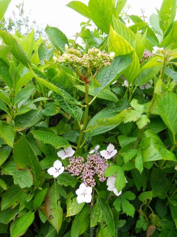 Hydrangea aspera 'Macrophylla' v 2