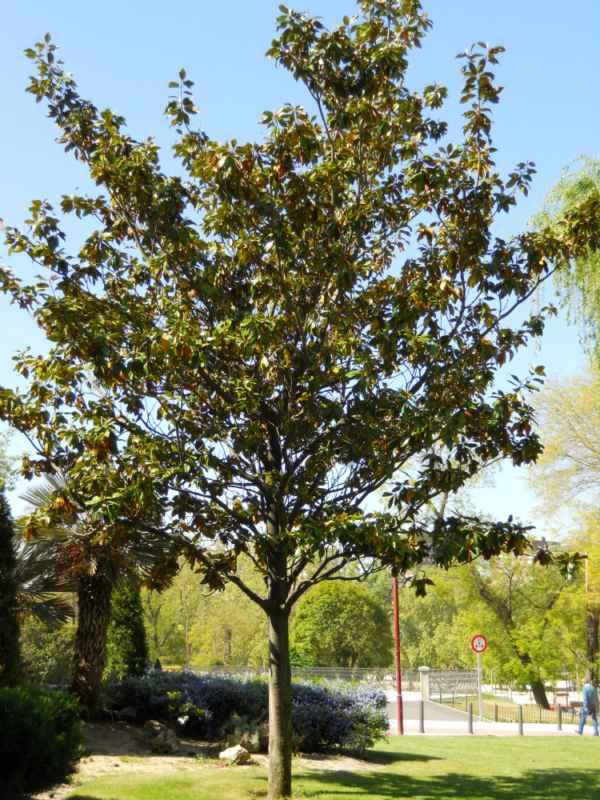 Magnolia spp. árbol v 4