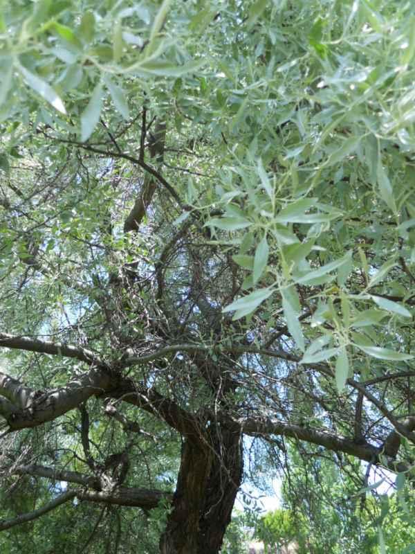 Pyrus salicifolia v 4