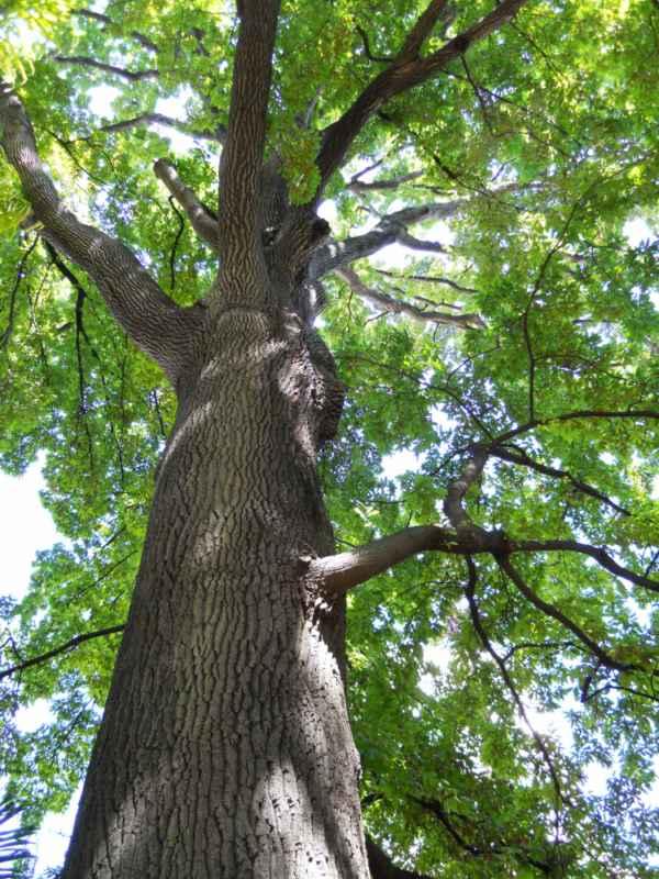 Quercus cerris v 1