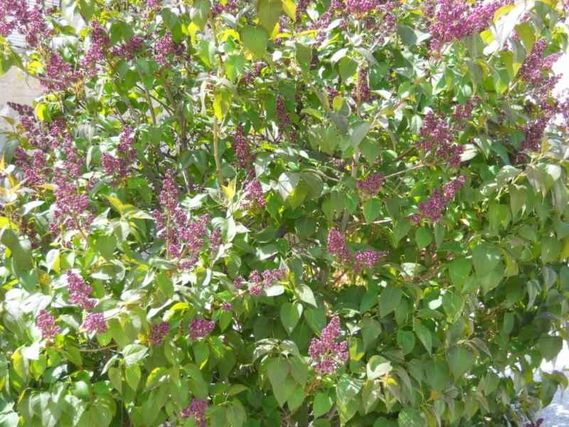Syringa vulgaris 5
