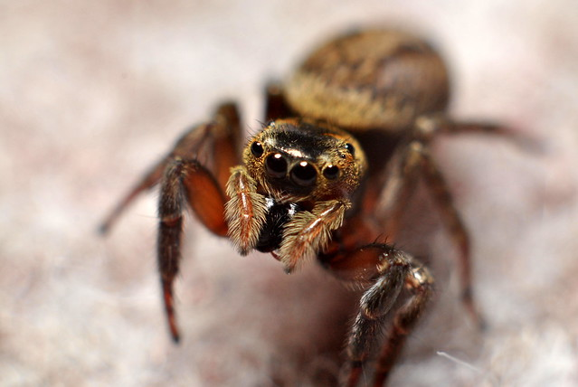 Japanese Jumping Spider