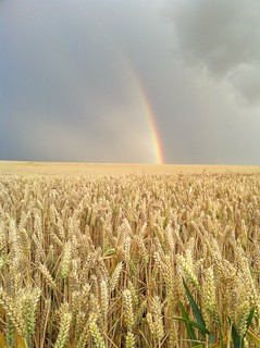 Wheat & Rainbow