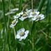 Sneezewort - Photo (c) Juha Haataja, some rights reserved (CC BY-NC-SA)