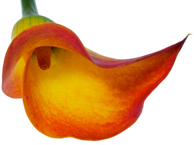 orange calla lily on white