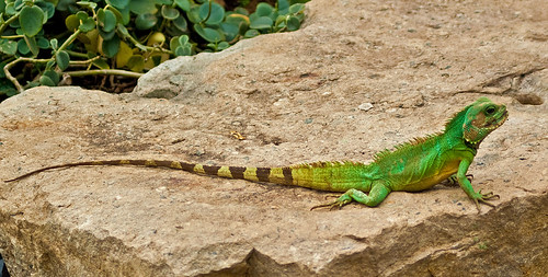 Chinese Water Dragon in the Princess of Wales Conservatory at Kew