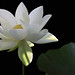 White Lotus Flower - IMG_2941-1000
