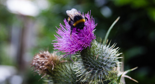 Bee feeding on thistle