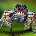 Adult Male Phidippus putnami Jumping Spider by Thomas Shahan