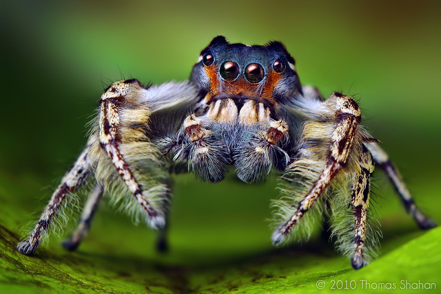 Thomas Shahan - Adult Male Phidippus putnami Jumping Spider