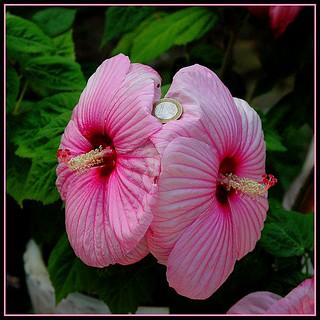 Hibiscus géants - Giant's hibiscus