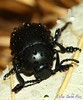 Bloody nose beetle