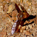 Stout Beeflies Ligyra sp. by Nieminski