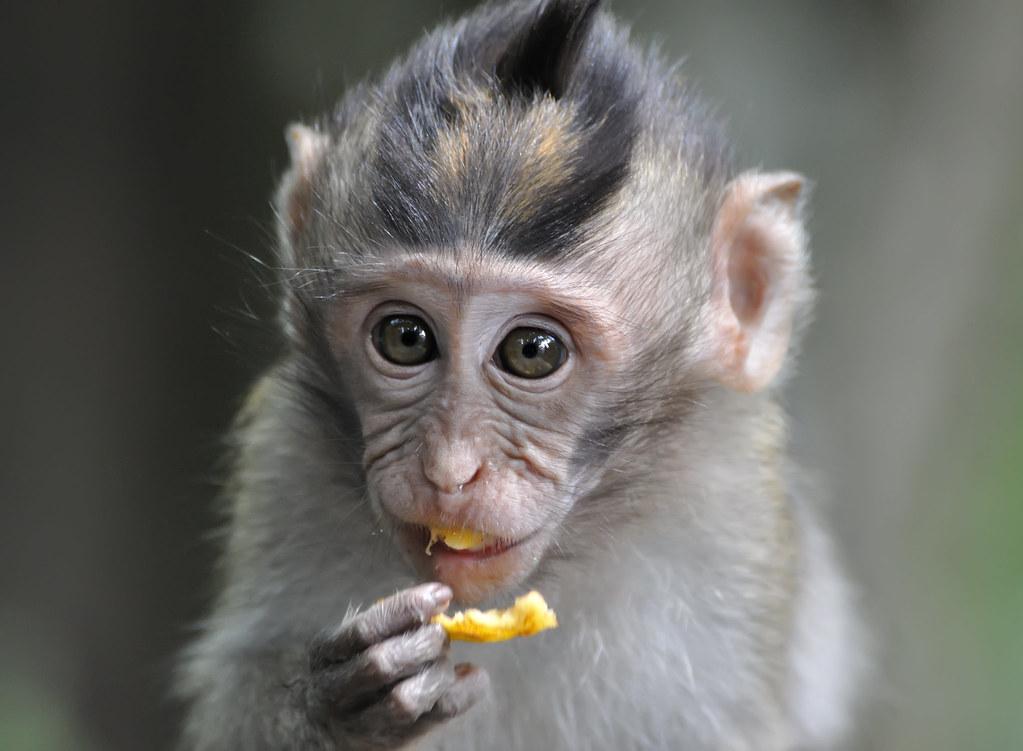 Bali Ubud forest monkey