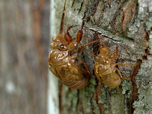 Cicada shells | Explore Meredith Harris' photos on Flickr ...