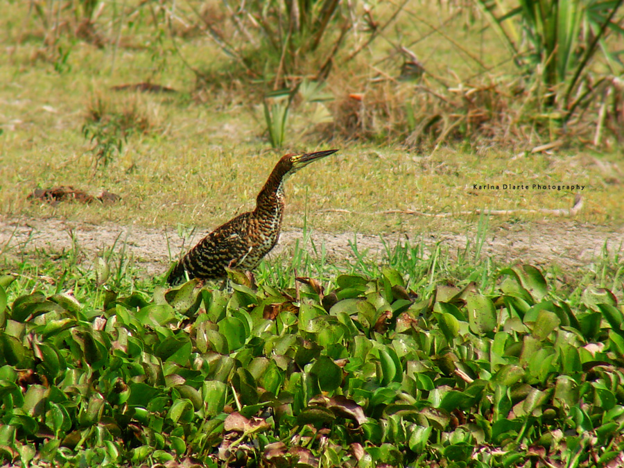 Hocó Colorado /  Rufescent Tiger-heron