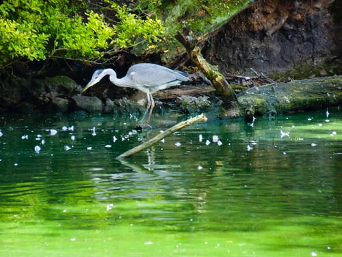 West Park heron fishing