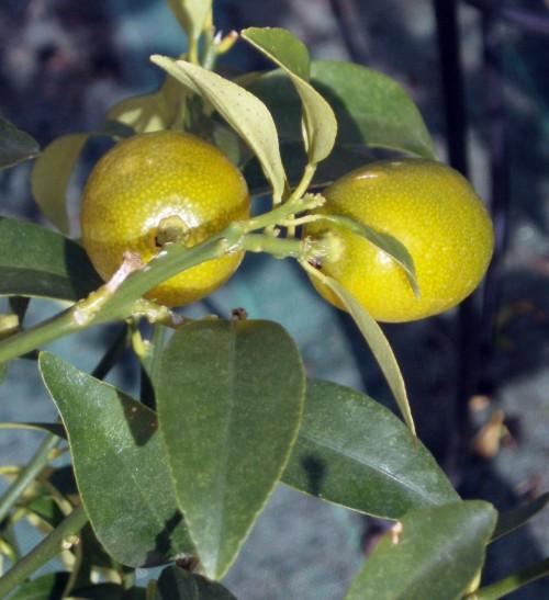 Citrus japonica 4919337342_cd93f08315_o